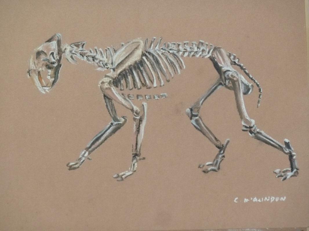 Tiger Skeleton Pictures Sabre Toothed Tiger Skeleton